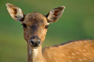 .Portrait of a female fallow deer (Dama dama)