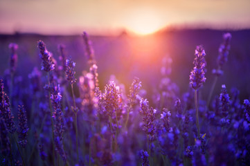 Lavender flowers at sunset in Provence, France. Macro image, shallow depth of field. Beautiful nature background