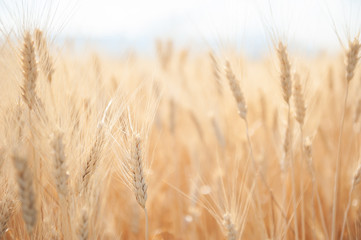 Field of wheat in summer. Beautiful nature background. Selective focus. Provence, France.