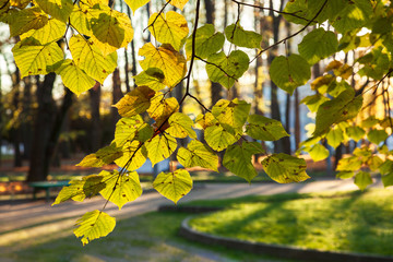 Backlight through yellow leaves in the autumn park