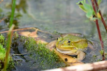 Photo on textile frame Frog Kleiner Wasserfrosch im Białowieża-Urwald in Polen - Pool Frog in Białowieża Forest in Poland