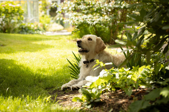 Yellow labrador dog lying in garden