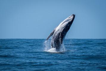 Breaching calf whale