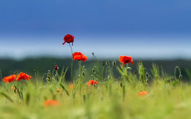 Photo sur Toile Poppy Rural fields in summer, with beautiful blooming wild red poppy flowers