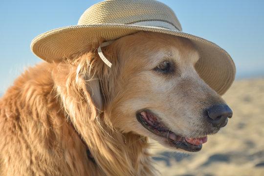 Older Golden Retriever dog wearing a sun hat at the beach.
