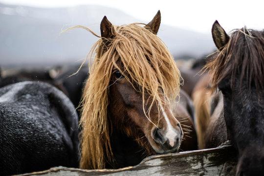 Portrait d'un cheval islandais avec une belle crinière sous la pluie