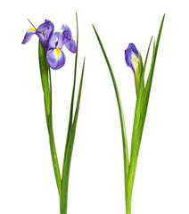 Set of purple iris flower and bud