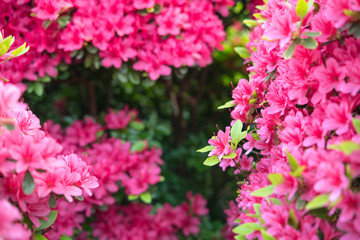 Spoed Fotobehang Azalea Pink azalea flowers background with copy space ツツジの花の背景/フレーム