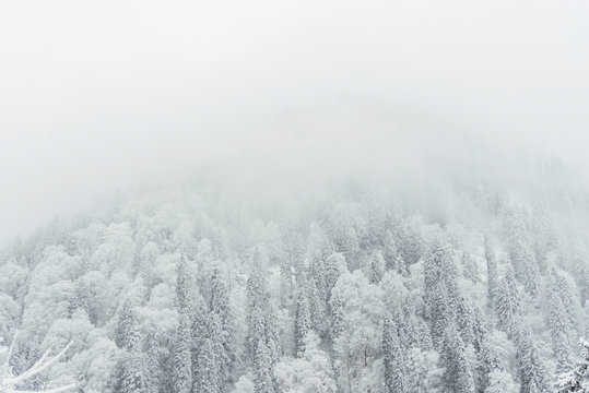 Pine trees and snow