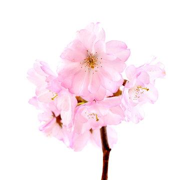 Beautiful cherry blossom sakura isolated on white background.