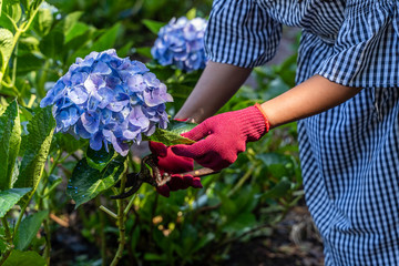 Papiers peints Hortensia Woman cut a bouquet of Hydrangea Flowers with pruning scissors in greenhouse.