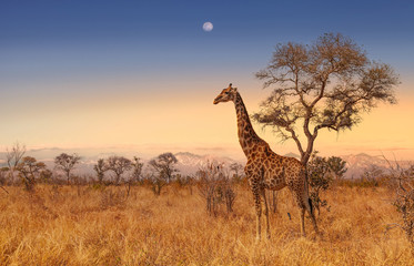 In de dag Giraffe Giraffe at dawn in Kruger park South Africa