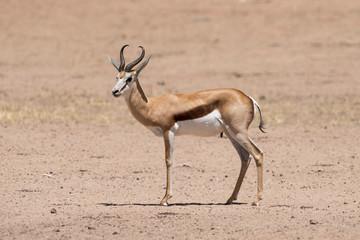Printed roller blinds Antelope Springbok, Antidorcas marsupialis, Afrique du Sud