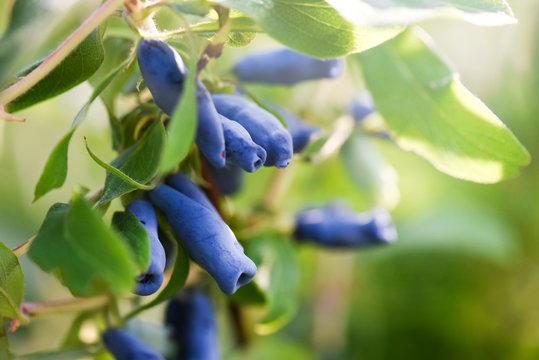 Blue honeysuckle branch in summer garden. Honeyberry, Blueberry, Lonicera kamtschatica