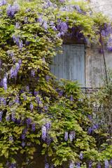 Blauregen an einer alten Hauswand