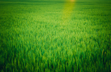 Burred picture of paddy field and sun ray