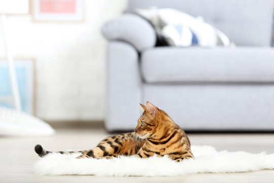 Beautiful brown cat lying on white carpet at home