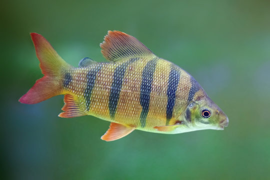 Striped yellow fish with orange fins. Distichodus lusosso.
