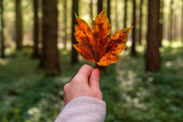 Female with a cozy knitted sweater hand holding a colorful autumn tree leaf on a forest background. Fall season concept.