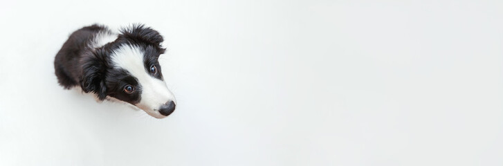 Funny studio portrait of cute smilling puppy dog border collie isolated on white background. New lovely member of family little dog gazing and waiting for reward. Pet care and animals concept. Banner