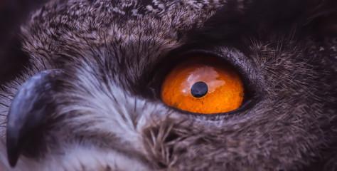 eagle eye close-up, macro photo, eye of the Marsh harrier.