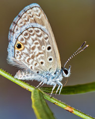 Hemiargus ceraunus butterfly perched on tree branch