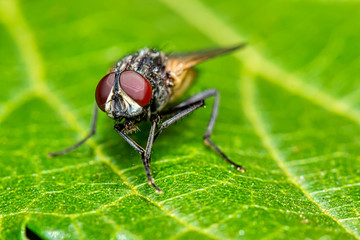 Housefly on leaf - macro photography of a housefly on a leaf