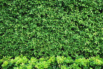 Tropical green leaf wall texture background. Wall mural