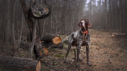 Hunting dog deutsch drahthaar on hunt