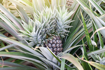 Raw Pineapple on tree in the garden with sunlight.