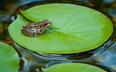 Young green frog (Rana clamitans) on pad of water lily (Nymphaea sp.) in backyard garden pond.