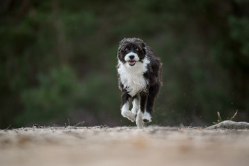 Cute running chinese crested dog