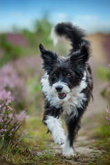 Chinese crested dog running in heather landscape