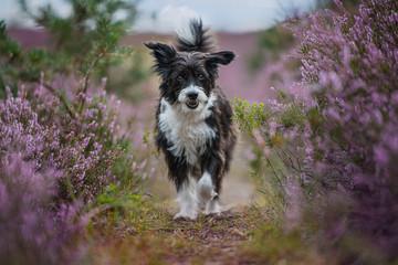 Foto op Plexiglas Lavendel Chinese crested dog in heather landscape