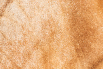 Cow skin,Texture of a brown cow.