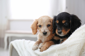 Cute English Cocker Spaniel puppies on sofa indoors. Space for text