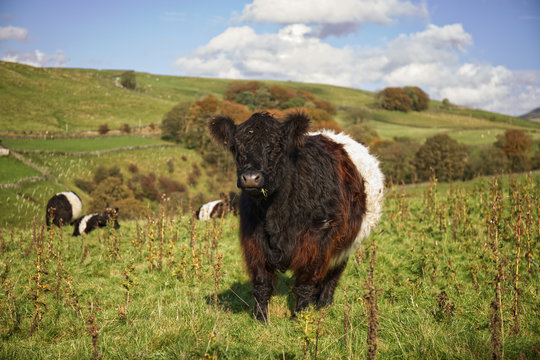 Belted  Galloway cow grazing in a field