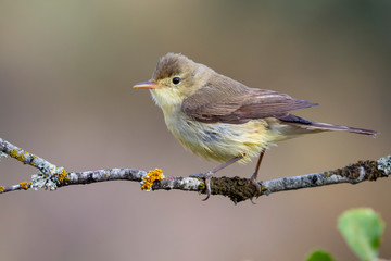 Fototapeta Melodious Warbler (Hippolais polyglotta), perched on a branch on a blurred background obraz