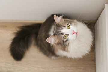 tricolor fluffy Siberian cat isolated on a gray background Wall mural