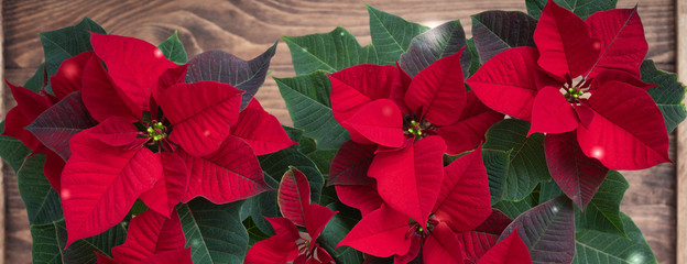 Christmas Red Poinsettia potted in wooden vintage rustic background, banner