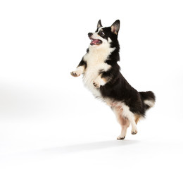 Funny dog jumping, isolated on white. Welsh Corgi puppy jumping and looking funny.