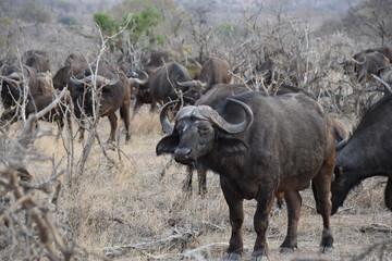 Photo sur Aluminium Buffalo buffalo in field