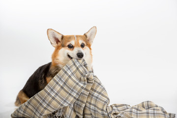 Funny dog picture, Corgi dog pulling a blanket. Isolated on white, dog looking funny. Copy space.