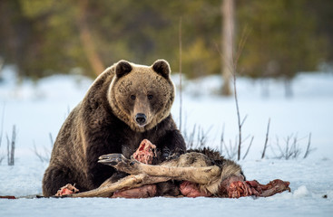 Brown bear awoke from hibernation, eats the moose's corpse. A brown bear in the forest. Adult Big Brown Bear Male. Scientific name: Ursus arctos.