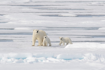 Photo sur Plexiglas Ours Blanc Wild polar bear (Ursus maritimus) mother and cub on the pack ice