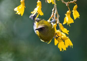 A New Zealand Bellbird in a Kohwhai tree