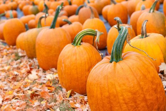 Pumpkins for sale at a pumpkin patch