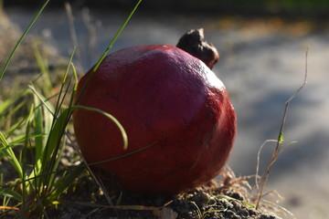 Primer plano de una granada roja madura, bajo la luz otoñal del sol.