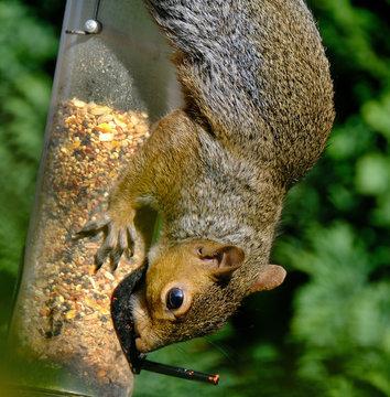 Grey Squirrel stealing seed from garden bird feeder.