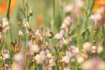 Honey bees forage for nectar and pollen exclusively, and as they forage for these resources, honey bees accomplish pollination.